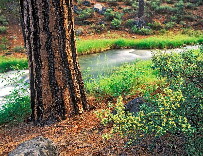 Ponderosa Pine and Rabbitbrush with Paulina Creek. Deschutes National Forest, Oregon.