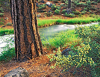 Ponderosa Pine and Rabbitbrush with Paulina Creek. Deschutes National Forest, Oregon.