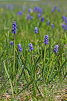 Kleine Traubenhyazinthe, Trauben-Hyazinthe, Träubel, Muscari botryoides, syn. Muscari heldreichii, Hyacinthus botryoides, Grape Hyacinth, Grape-Hyacinth