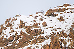 Male snow leopard (Panthera uncia) (formerly Uncia uncia) walking along snow-covered ridgeline. Ulley Valley, Himalayas, Ladakh, India.