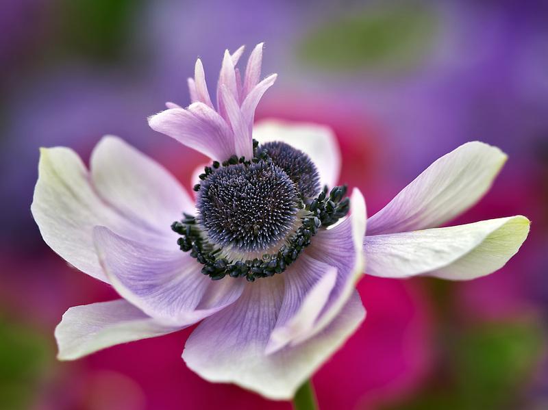 Close up of purple Anemone.