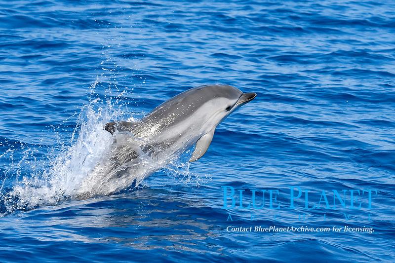 Striped Dolphin, Stenella coeruleoalba, breaching, Azores, Atlantic Ocean
