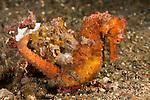 Estuary seahorse (Hippocampus kuda) in the rubble.