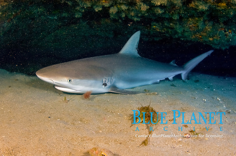 Caribbean Reef Shark (Carcharhinus perezii) resting in a cave in Jupiter, Florida, USA, Atlantic Ocean This species is among several that can rest perfectly still on the reef bottom.