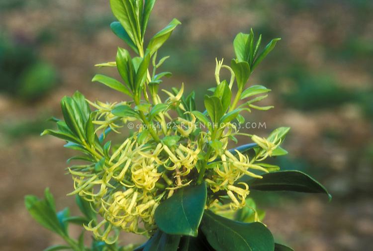 Daphne pontica in spring bloom