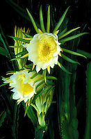 Blossoms of night blooming cereus (Hylocereus undata)