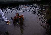 Dogs are welcome to cool off in the pond after playing ball in Prospect Park.