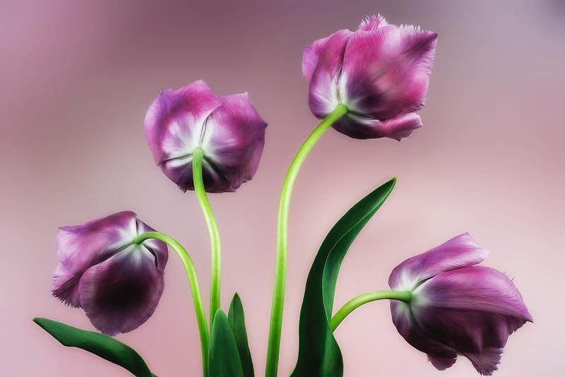 Close up of purple tulips