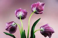 Close up of purple tulips