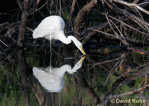 0111-0936  Great Egret, Ardea alba  © David Kuhn/Dwight Kuhn Photography
