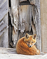 Red fox kit curled up