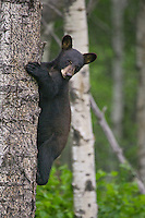 Black Bear cub watching from the side of a tree