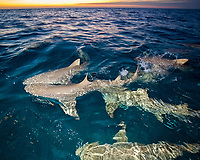 lemon shark, Negaprion brevirostris, at sunset, Bahamas, Atlantic Ocean