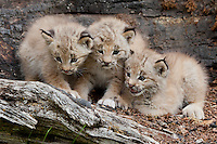 Trio of Canada Lynx kittens on an old log - CA