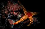 Noduled Sea Star (Fromia nodosa), Maldives