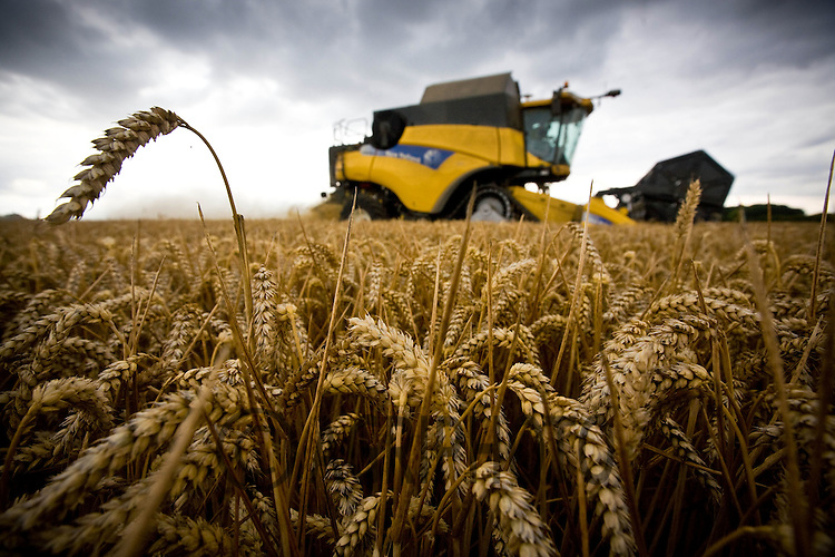 Harvesting Winter Wheat In Lincolnshire