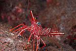 Red Dancing Cleaner Shrimp,Rhynchocinetes durbanensis, , Underwater macro marine life images;  Photographed in Tulamben; Liberty Resort; Indonesia.Underwater Macro Photographer on FB 2nd Annual event
