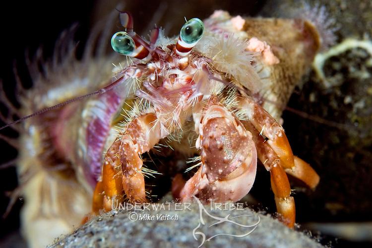 Hermit crab with anemones, Dardanus pedunculatus and Calliactis miriam, Basura divesite, Anilao, Batangas, Philippines, Pacific Ocean