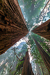 California, Jedediah Smith Redwoods State Park, coast redwood trees (Sequoia sempervirens), IUCN Redlist status: Endangered