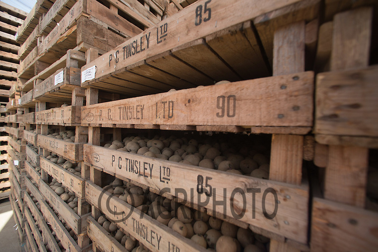 Seed potatoes chitting in trays <br /> Picture Tim Scrivener 07850 303986 <br /> scrivphoto@btinternet.com<br /> ….covering agriculture in the UK….