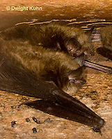 MA20-563z  Little Brown Bats, Myotis lucifugus
