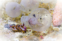 Flamboyant cuttlefish (Metasepia pfefferi) hatching from egg