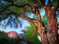 Cottonwood trees and rock formations with moon. Fruita, Capitol Reef National Park, Utah