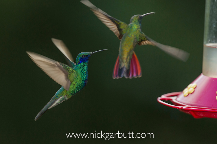 Sparkling Violetear (Colibri coruscans) (left) and Black-throated Mango  (Anthracothorax nigricollis) (rear right) at Jardin Encantado (The Enchanted Garden), mid-elevation Andes, outside Bogota, Colombia.