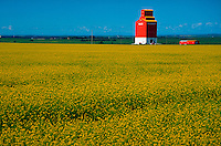 Flowering canola field and grain elevator, Red Deer, Alberta, Canada