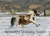 Bob, ANIMALS, REALISTISCHE TIERE, ANIMALES REALISTICOS, horses, photos+++++,GBLA4377,#a#, EVERYDAY