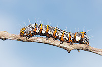 An Eight-spotted Forester Moth (Alypia octomaculata) caterpillar (larva) perches on a twig.