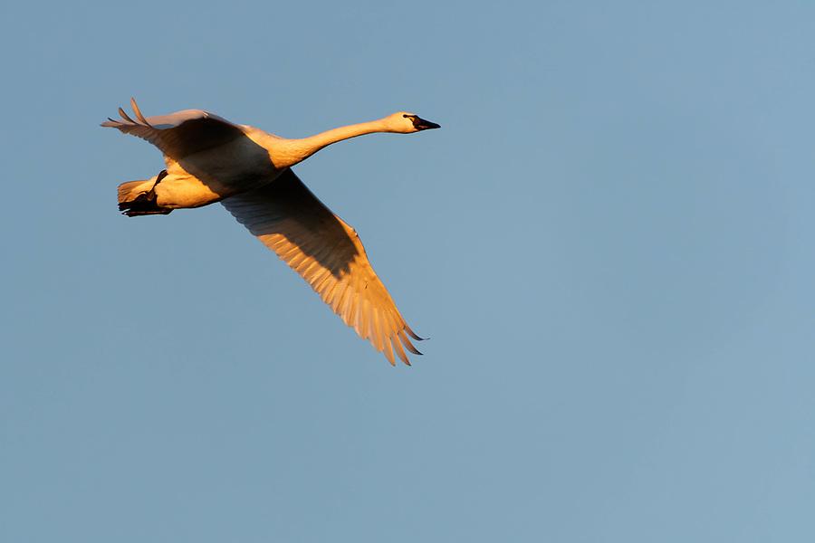 Trumpeter swan (Cygnus buccinator) in flight during sunrise, Fir Island, Washington, USA