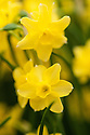 Narcissus 'Sabrosa', a miniature jonquil hybrid. A Division 7 daffodil.