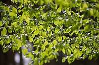 Hainbuche, Hain-Buche, Weißbuche, Weissbuche, Carpinus betulus, Hornbeam, Common Hornbeam, Charme commun, Charmille, Blatt, Blätter, leaf, leaves im Frühjahr, Durchlicht, Gegenlicht