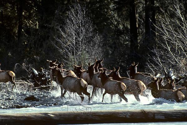 Roosevelt Elk herd crossing Hoh River.  Olympic National Park Rain Forest, WA.  Spring.