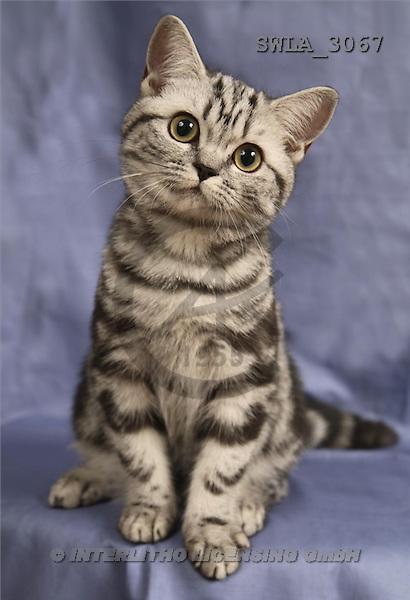 Carl, ANIMALS, photos(SWLA3067,#A#) Katzen, gatos