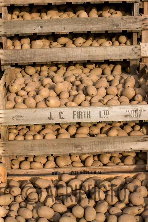 Seed potatoes.Picture Tim Scrivener date taken 20th March 2012 Mobile 07850 303986 e-mail tim@agriphoto.com. ....covering agriculture in the Uk....