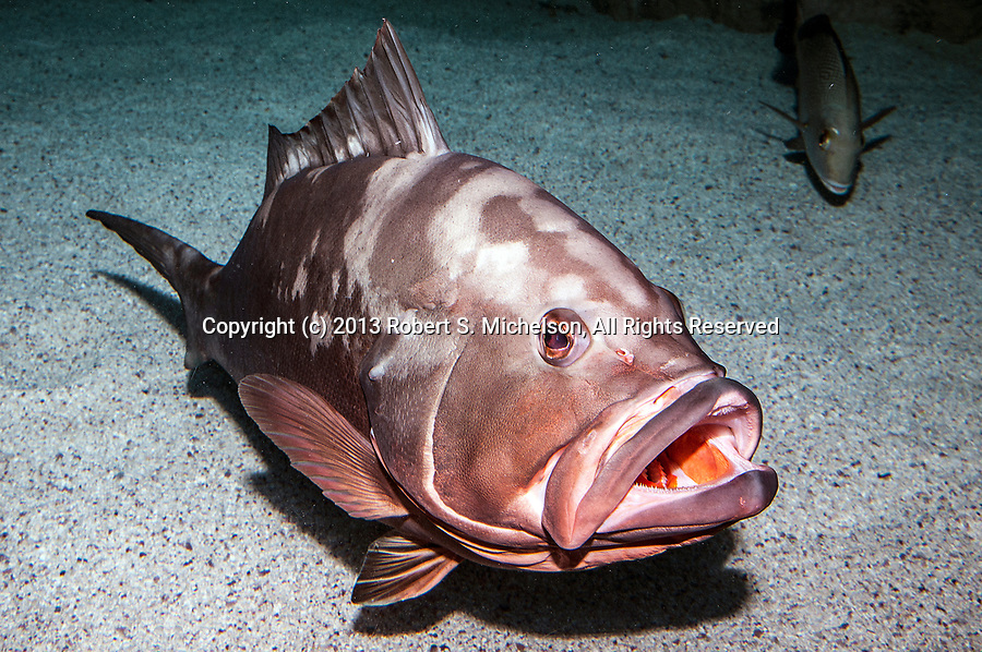 Red grouper sitting on sand habitat 45 segrees to camera full body view mouth open