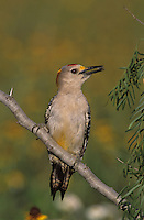 Golden-fronted Woodpecker, Melanerpes aurifrons, male with sunflower seed, Willacy County, Rio Grande Valley, Texas, USA