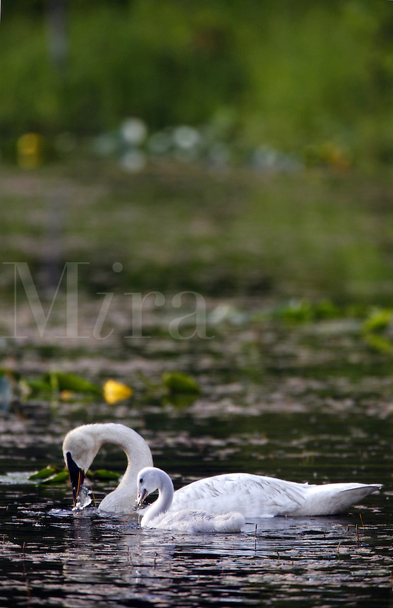 Trumpeter Swans with cygnets, Copper River Delta, Cordova, Chugach National Forest, Alaska.