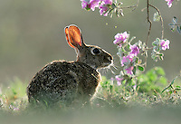 Eastern Cottontail (Sylvilagus floridanus), adult backlit among blooming Texas Sage (Leucophyllum frutescens), Dinero, Lake Corpus Christi, South Texas, USA