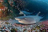 whitetip reef shark, Triaenodon obesus, resting on volcanic floor, Roca Partida, Revillagigedo Islands, Mesico, Pacific Ocean