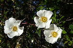 Cherokee rose is a wild single vine rose that blooms in the spring.  The bloosoms are large and prolific, as are the thorns.