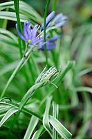 Camassia quamash 'Blue Melody'