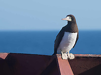 After napping for two days the Brown Booby spent most of the day fishing.  Resting now after flying alongside and around the ship all day.