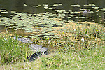 Brazoria County, Damon, Texas; a large, adult American Alligator (Alligator mississippiensis) warming itself in the sun, while resting on the bank of the slough, as it's mate floats at the surface of the water just offshore