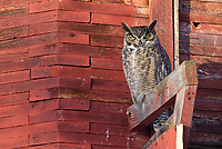 Great Horned Owl (Bubo virginianus) roosting outside of an old barn in the sun on a morning well bleo zero degrees F. Okanogan County, Washington. January.