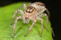 Dimorphic Jumper (Maevia inclemens) - Female, West Harrison, Westchester County, New York