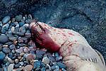 Europa, DEU, Deutschland, Schleswig-Holstein, Nordsee, Deutsche Bucht, Helgoland, Seehund, Tot, Kadaver, Verletzung durch Schiffsschraube, Phoca vitulina, Europaeischer Seehund , Kategorien und Themen, Tiere, Tier, Wildtiere, Tierfoto, Tierfotos, Tierphoto, Tierphotos, Tierfotografie, Tierphotographie, Wildlife, Natur, Naturfoto, Naturfotos, Naturfotografie, Naturphoto, Naturphotographie<br /> <br /> [Fuer die Nutzung gelten die jeweils gueltigen Allgemeinen Liefer-und Geschaeftsbedingungen. Nutzung nur gegen Verwendungsmeldung und Nachweis. Download der AGB unter http://www.image-box.com oder werden auf Anfrage zugesendet. Freigabe ist vorher erforderlich. Jede Nutzung des Fotos ist honorarpflichtig gemaess derzeit gueltiger MFM Liste - Kontakt, Uwe Schmid-Fotografie, Duisburg, Tel. (+49).2065.677997, archiv@image-box.com, www.image-box.com]