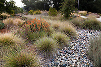 Bioswale garden with rock dry stream bed for rain garden ground water permeability, Muhlenbergia dubia (Pine Muhly) bunch grasses and Euphorbia characias in fall color, University of California Davis Arboretum